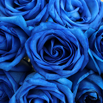 Blue Roses Tinted